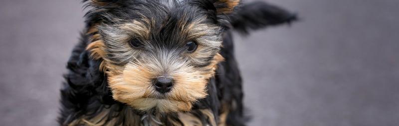 puppies Croydon