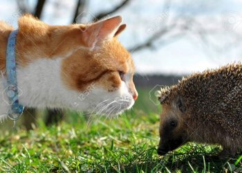 9286363-hedgehog-and-cat